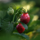 strawberry, berry, spring, macro photo wallpaper