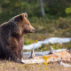 animals, predator, bear, nature, forest, log, brown bear wallpaper