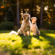 dog, golden retrievers, nature, forest, trees, depth of field wallpaper