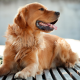 dog, animals, golden retrievers wallpaper