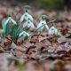 snowdrops, leaves, dry leaf, spring, flowers, nature wallpaper