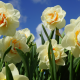nature, spring, flowers, daffodils wallpaper