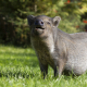 wild boar, grass, happy, wild, pig, animals wallpaper