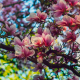 nature, spring, tree, branches, bloom, flowers, magnolia wallpaper