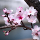 nature, spring, bloom, tree, branch, flowers, almond wallpaper