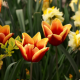 spring, flowers, tulips, daffodils, nature wallpaper