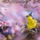 yellow tit, machlolophus holsti, spring, taiwan, bird, sakura, animals, nature wallpaper
