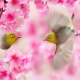 spring, twigs, taiwan, birds, white eyes, sakura, flowers, animals, nature, common nightingale, nightingale wallpaper