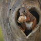animals, rodent, squirrel, tree, hollow, walnut wallpaper