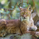 animals, wildlife, lynx wallpaper
