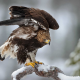 animals, eagles, bird, nature, snow, winter wallpaper