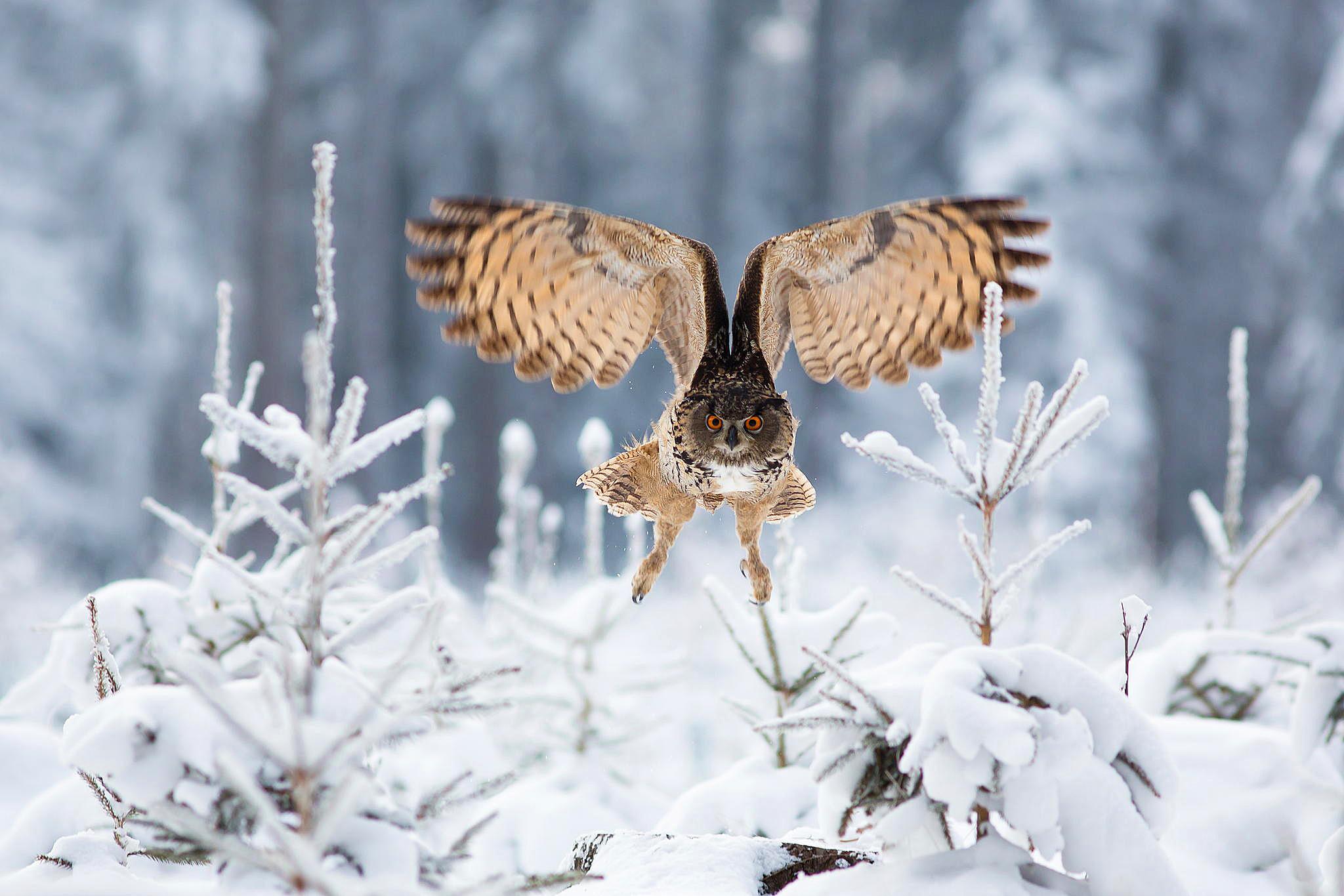 owl winter bird animal - photo #24