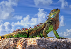 lizards, animals, reptiles, rock, sky, clouds, closeup, colorful, sunlight, iguanas wallpaper