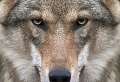 wolf, animals, nature, closeup, face wallpaper