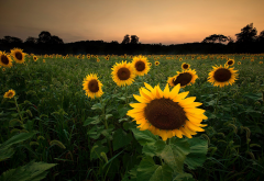sunflowers, flowers, field, nature wallpaper