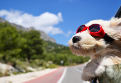dog, animals, face, wind, glasses, car, road wallpaper