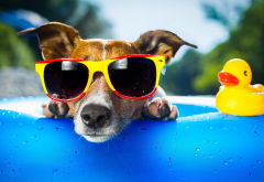 dog, summer, duck, animals, sun glasses wallpaper
