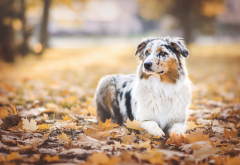 australian shepherd, dog, autumn, keaf, leaves, maple leaves wallpaper