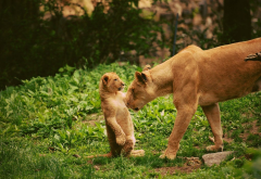 animals, lion, lion cub wallpaper