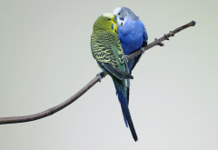 animals, bird, parrots, kissing wallpaper