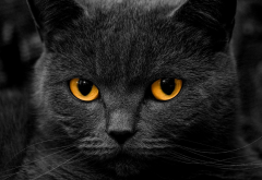 cat, animals, orange eyes wallpaper