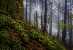 morning, forest, fog, mist, tree, nature, landscape wallpaper