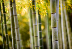 bamboo, forest, nature wallpaper