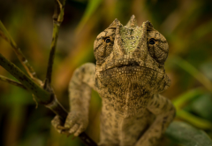 chameleon, animals, nature wallpaper