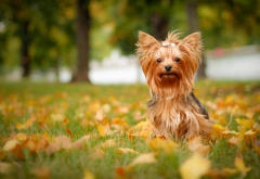 yorkshire terrier, dog, autumn, leaf, animals, nature wallpaper
