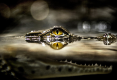 crocodile, underwater, animals, reptile wallpaper
