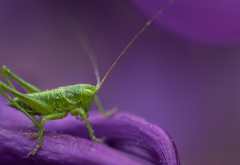 grasshopper, insect, animals, macro wallpaper