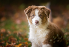 australian shepherd, dog, animals wallpaper
