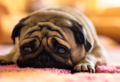 pug, animals, dog, sad wallpaper
