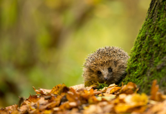 hedgehog, fall, animals, autumn, leaf, nature wallpaper