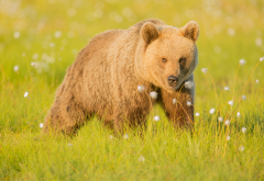 eurasian brown bear, bear, grass, nature, animals wallpaper