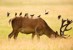 deer, field, bird, sparrow, animals wallpaper