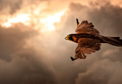 falcon, animals, bird, flight, clouds wallpaper