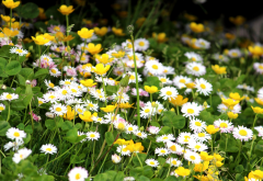 flowers, clover, grass, nature, chamomile, daisy wheel wallpaper
