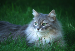 long hair cat, cat, grass, animals wallpaper