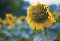 sunflower, nature, leaves, closeup, plants, smiley, seeds wallpaper