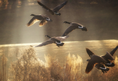 duck, wildlife, sunlight, flying ducks, birds, animals wallpaper