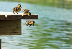 duck, ducklings, jumping ducklings, water, pier, birds, animals wallpaper