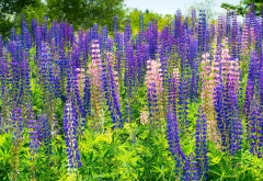 lupins, flowers, plants, nature wallpaper