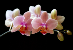 orchids, flowers, petals, nature wallpaper