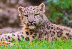 leopard cub, leopard, animals, whiskers, grass wallpaper