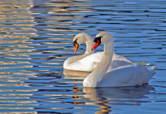 swan, lake, bird, animals, water wallpaper