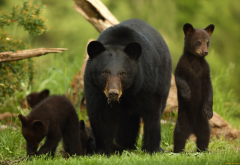 american black bear, ursus americanus, bear, cub, family, animals wallpaper