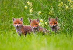 fox, animals, little foxes, grass wallpaper