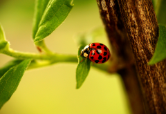 ladybug, ladybird, branch, leaves, macro, animals wallpaper