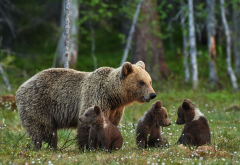 bears, bear, bears family, brown bear, forest, animals, bear cubs wallpaper